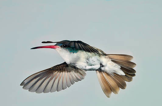Gregory Scott - Violet Crowned Hummingbird in Level Flight