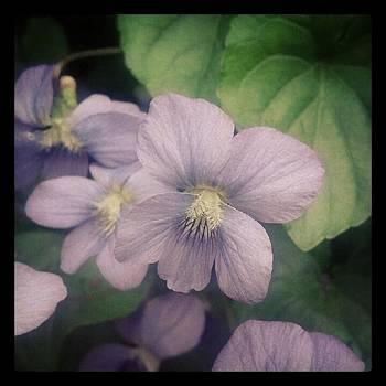 Violets by Christy Bruna