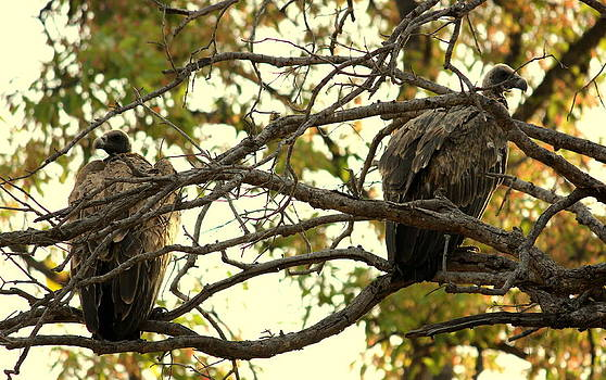 Vultures by Manaswinee Mohanty