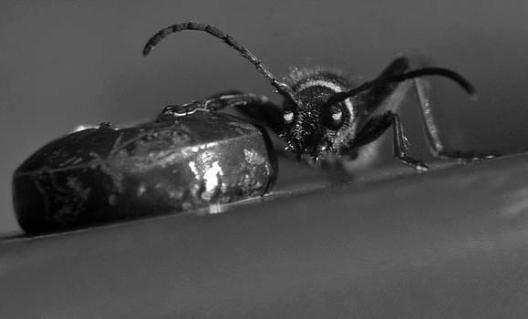 Wasp beetle by Ian Flear