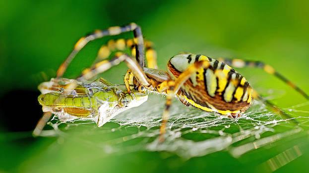 Wasp-spider kills grasshopper by Thomas Splietker