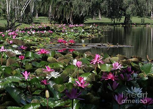 Sabrina L Ryan - Water Lilies in the St. Lucie River