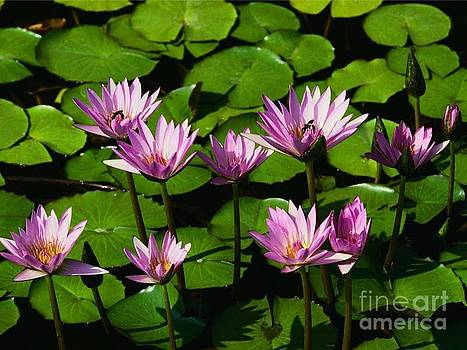 Water Lillies by Curtis Brackett