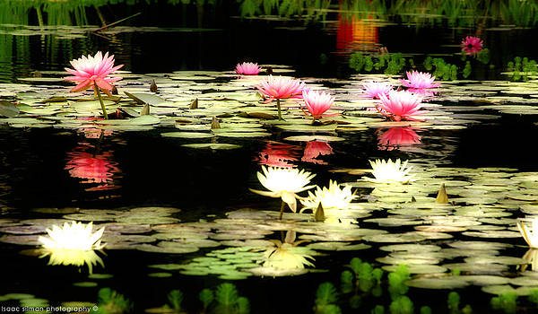Isaac Silman - Water Lily 8