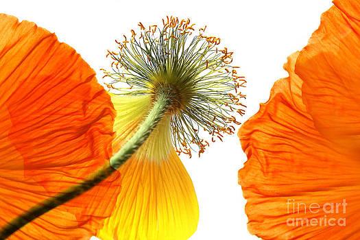 Welting Poppy flower head by Anita Antonia Nowack