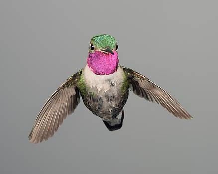 Gregory Scott - Wet Broadtail Hummigbird