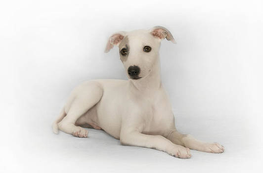 Whippet Puppy by John Clum