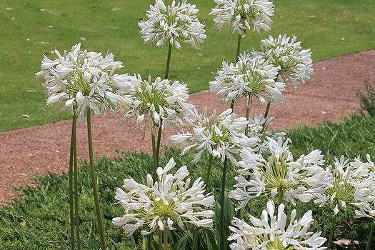 Kate Farrant - White Agapanthus by the path