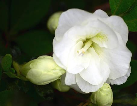 White Azalea  by Sandi OReilly