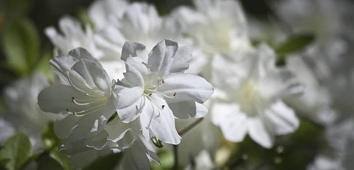 Teresa Mucha - White Beauty