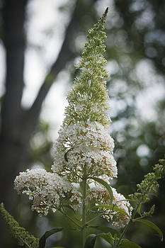 Teresa Mucha - White Butterfly Bush Bloom