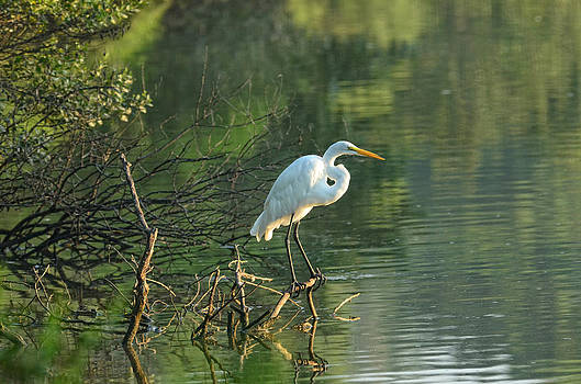 White Egret by Eric Haggart
