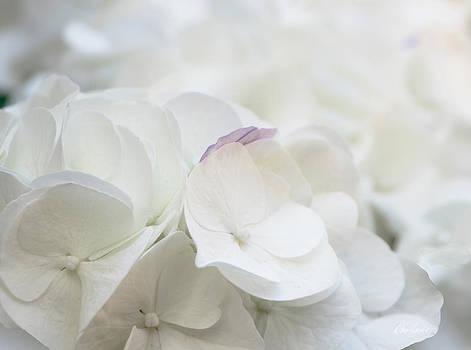 Diana Haronis - White Hydrangea