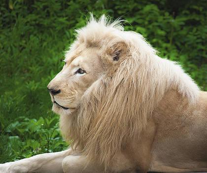 White Lion by Jen Morrison