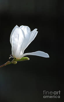 White Magnolia by Conny Sjostrom