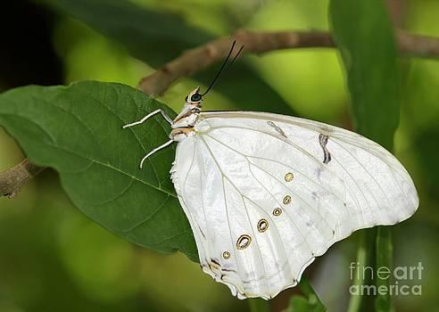 Sabrina L Ryan - White Morpho Butterfly