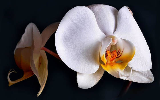 White Orchid by Dorothy Walker