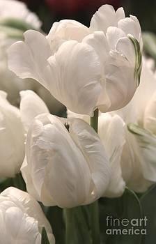 White Parrot Tulips by Freda Sbordoni