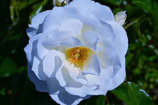 White Rose by Saifon Anaya