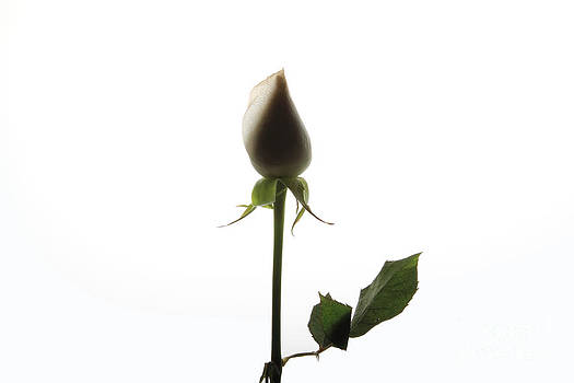 White Rose with Shadow by Zafer GUDER