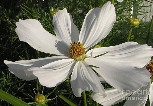 White Summer Splendor  by Judyann Matthews