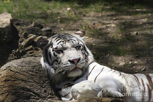 White Tiger by Jerry Bunger