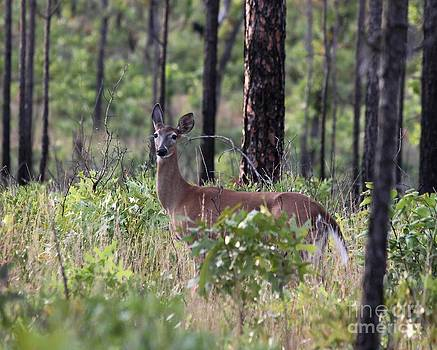 Whitetail by Theresa Willingham