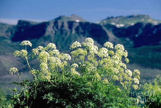 James Steinberg and Photo Researchers - Wild Angelica
