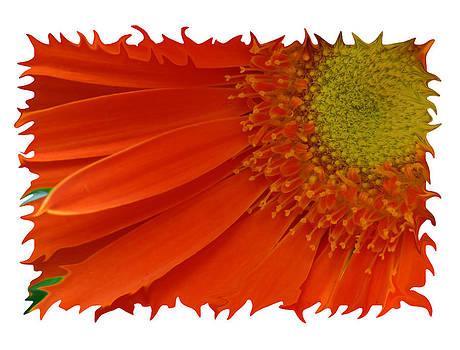 Shari Jardina - Wild Daisy