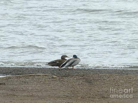 Sue Wild Rose - Wild Ducks