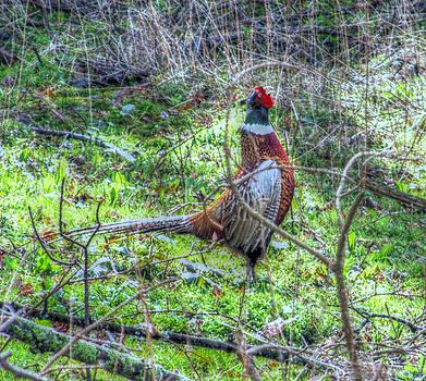 Cindy Nunn - Wild Pheasant