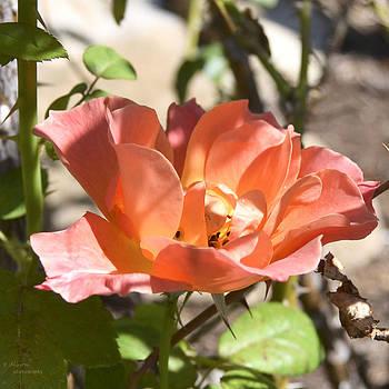 Wild Rose by Teresa Dixon
