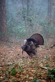Wild turkey portriat by David Campione