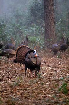 Wild turkey strutting by David Campione
