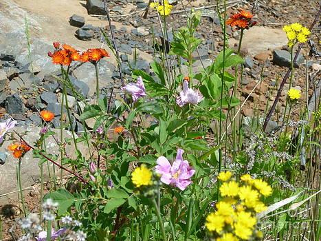 Sue Wild Rose - Wildflowers