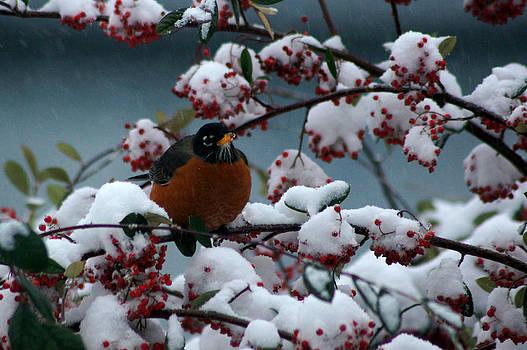 Winter Feeding Robin by Wendy Emel