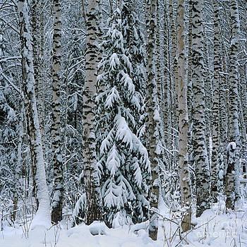 Winter taiga  by Elena Filatova