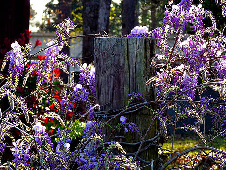 Terry Eve Tanner - Wisteria on the Fence Post