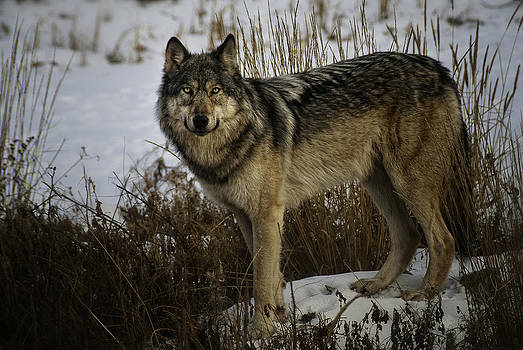 Wolf by Steve  Milner