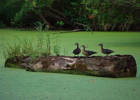 Joy Bradley - Wood Ducks Wood
