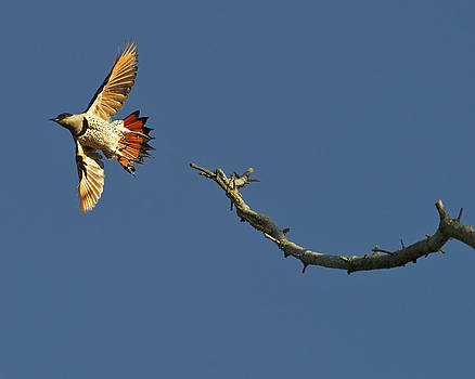 Woodpecker take-off by Sasse Photo