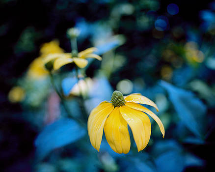 Yellow cone flower on Blue background by Marcio Faustino