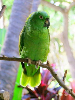 Mary Deal - Yellow Crowned Amazon Parrot No 2