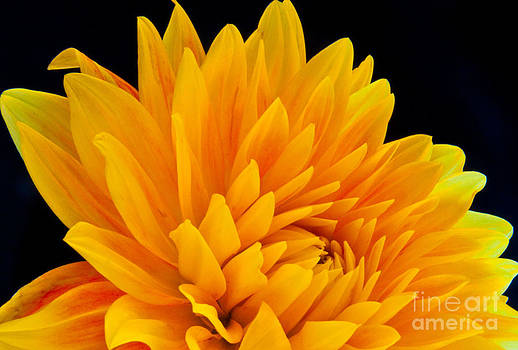 Yellow Dahlia by Dana Kern
