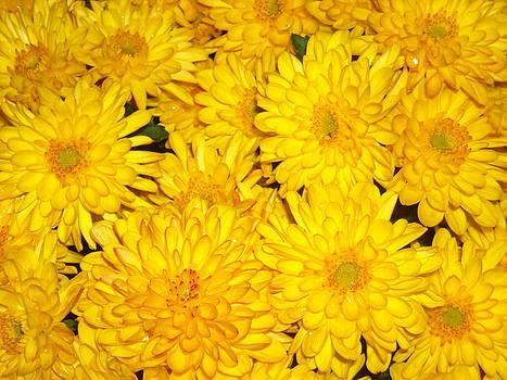 Yellow Dahlias by Liliana Ducoure