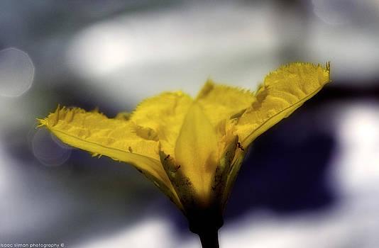 Isaac Silman - yellow flower