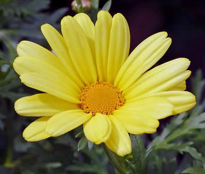 Yellow Flower by Stephen Janko