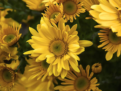Yellow Mums by Black September