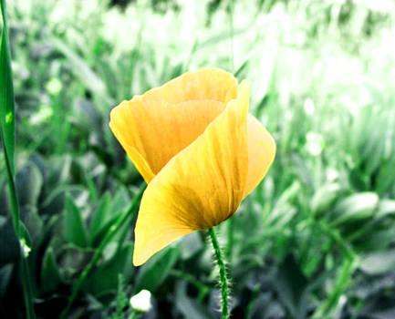 Yellow Poppy by Simona Schirinzi