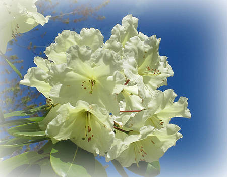 Marilyn Wilson - Yellow Rhododendron with frosted edges